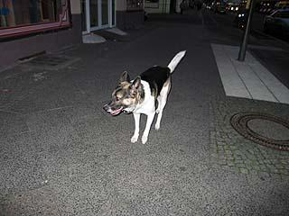 Zebu in der Nacht, Photo: Gabriele Kantel, 04.08.2005